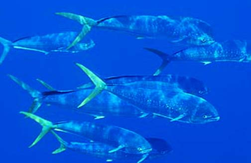 school of Dolphin